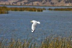 Чайка в озере Titicaca полета, Перу Стоковое Фото