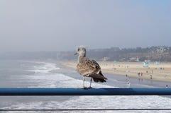 Чайка в пляже Санта-Моника, Тихий океан Стоковая Фотография RF