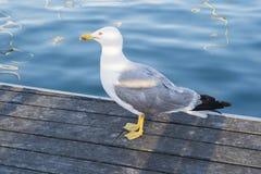 Чайка в порте около воды Стоковое Изображение RF