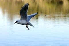 Чайка в полете на реку Adda, Trezzo Стоковое Изображение RF