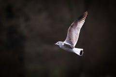 Чайка в полете с темным Backgound Стоковые Изображения RF