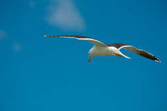 Чайка в полете Стоковое Изображение RF