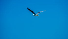 Чайка в полете Стоковая Фотография