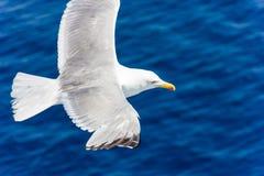 Чайка в полете Стоковое Изображение
