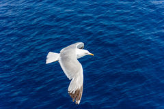 Чайка в полете Стоковые Фотографии RF