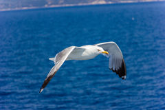 Чайка в полете Стоковая Фотография RF