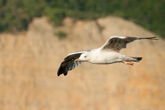 Чайка в полете Стоковые Фото