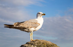 Чайка в предпосылке голубого неба Стоковая Фотография RF
