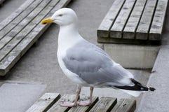 Чайка в профиле Стоковые Фото