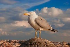 Чайка в Риме стоковая фотография rf