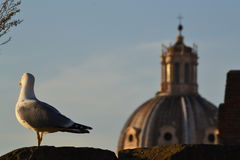 Чайка в Риме Стоковое Фото