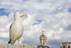 Чайка в Риме Стоковые Изображения RF