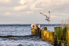 Чайка в солнечном свете Стоковые Изображения