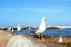 Чайка в Essaouira в moorocco Стоковое Изображение