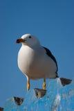 Чайка в Paracas, Перу Стоковая Фотография RF