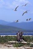 чайка гнездя острова где Стоковое Фото