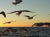 чайка гоньбы s Стоковая Фотография