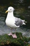 чайка дождя Стоковое фото RF