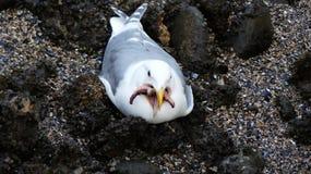 Чайка держа пляж морских звёзд Стоковая Фотография RF