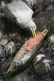 Чайка есть больших рыб Стоковая Фотография RF