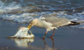 Чайка есть рыбу Стоковые Фото