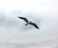 Чайка летания в сером небе облака Стоковое Фото