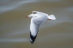 Чайка летания завишет над морем Стоковое Изображение