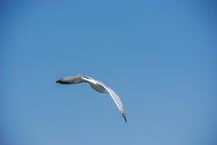 Чайка летания и голубое небо Стоковое фото RF