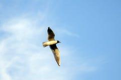Чайка летания, красивая птица Стоковые Изображения RF