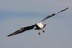 ЧАЙКА летания на небе Стоковые Изображения