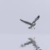 Чайка летания над небом Стоковое Изображение RF