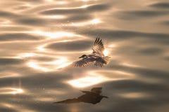 Чайка летания на поверхности воды стоковые фото
