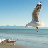 Чайка летания подача вручную Стоковые Изображения RF
