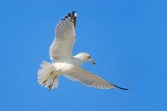 Чайка летания с голубым небом Птица в мухе с голубым небом Кольц-представленная счет чайка, delawarensis Larus, от Флориды, США Б Стоковые Изображения
