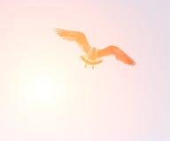 Чайка летания с солнечным светом Стоковые Изображения RF