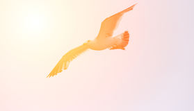 Чайка летания с солнечным светом Стоковые Фото