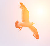 Чайка летания с солнечным светом Стоковое Изображение RF