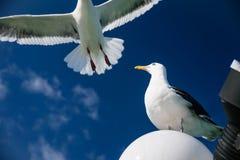 Чайка летания для концепции свободы Стоковое Изображение RF