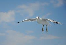 Чайка летания стоковое изображение