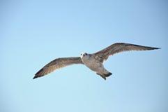 Чайка летания стоковые изображения