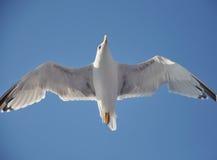 Чайка летания стоковые фото