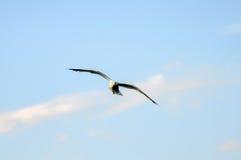 Чайка летания, flapping крылов Стоковая Фотография