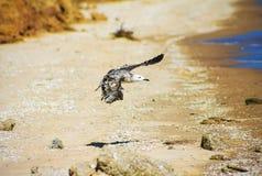 Чайка летая над морем океана, предпосылка баклана природы Стоковые Фото