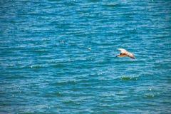 Чайка летая над морем океана, предпосылка баклана природы Стоковое Изображение