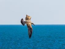 Чайка летая над морем океана, предпосылка баклана природы Стоковые Фотографии RF