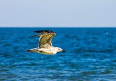 Чайка летая над морем океана, предпосылка баклана природы Стоковая Фотография RF