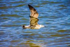 Чайка летая над морем океана, предпосылка баклана природы Стоковые Изображения RF