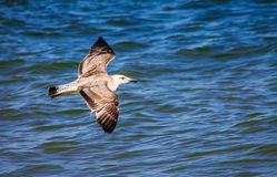 Чайка летая над морем океана, предпосылка баклана природы Стоковая Фотография