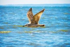 Чайка летая над морем океана, предпосылка баклана природы Стоковое Фото