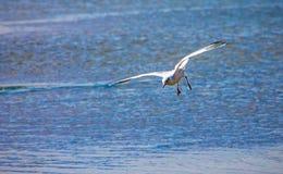 Чайка летая над морем океана, предпосылка баклана природы Стоковые Изображения